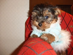 AKC yorkie pups for sale in Tampa