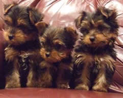 Yorkshire Terrier pups for sale in Tampa, Zephyrhills, Florida
